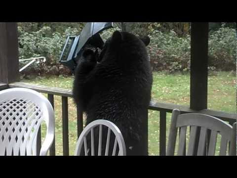 Backyard bear, Westford MA