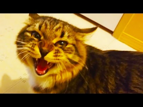 Talking Cats 2017 🙀 FUNNY CATS Talking and Singing [Funny Pets]
