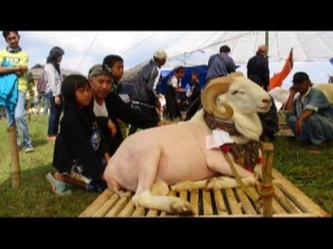 Kontes Dan Seni Ketangkasan Domba Garut Paguyuban 30 Fapet Unpad 2014 video