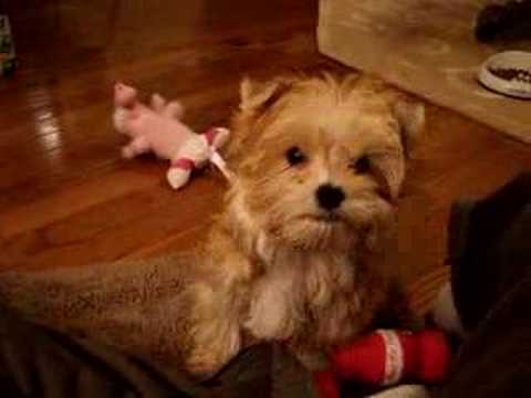 Morkie Puppies on Morkie Puppies For Sale At Http   Www Morkieworld Com  Morkie