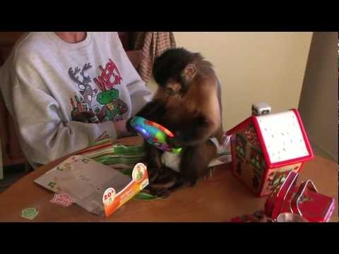 "Capuchin Monkey Wolfgang ""Get s a MP3 for Christmas"""