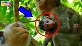 Part4.So sad! Justino baby tired&looking mom cos want back|How Julito get her baby?|Monkey Daily428