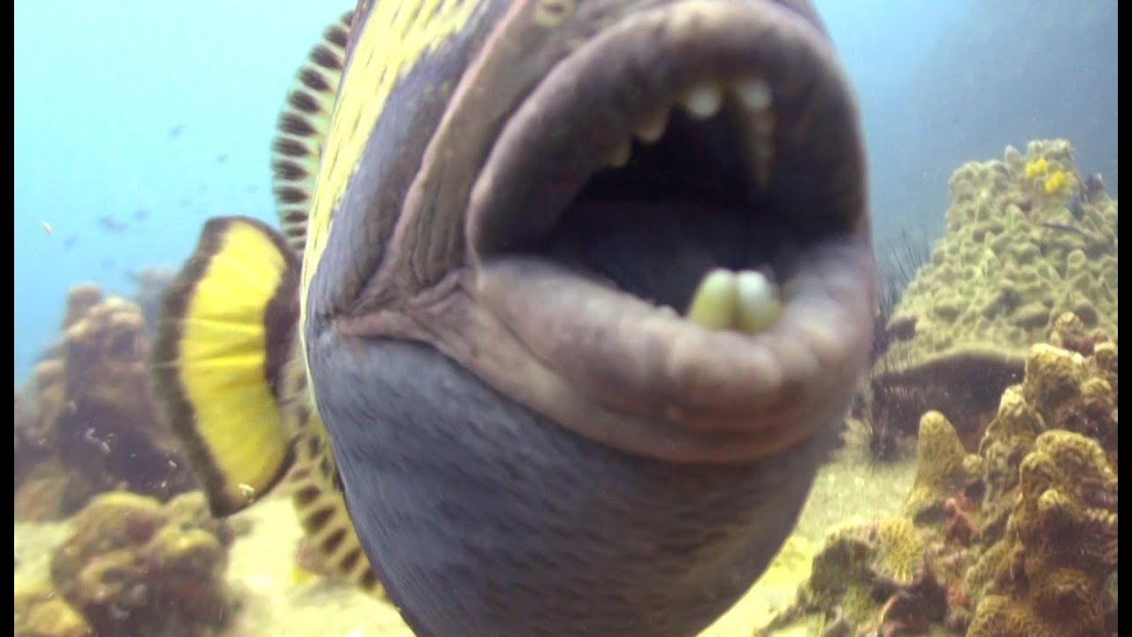 Angry triggerfish biting camera youtube for Where are the fish biting