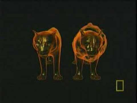 Lion and Tiger Compared