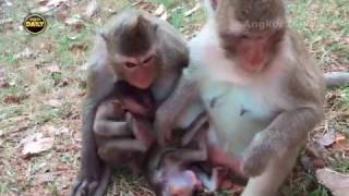 Cute Baby Monkey is Under the other Mothers, Cries long time, Sitting on baby.[Angkor Daily151]
