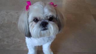Shih Tzu Doing Dog Tricks!
