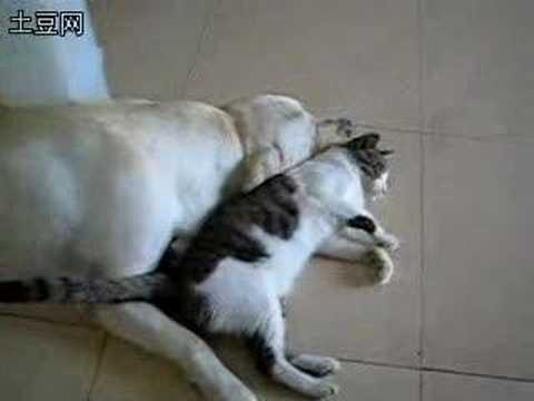 Cat Love With Dog (re: Dog Sex With Cat) video