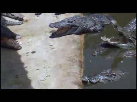 Голодные и злые  Крокодилы (Крокодиловая ферма Тайланд / Crocodile Farm  Thailand)