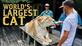 BOTTLE FEEDING THE WORLD'S LARGEST CAT