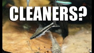 "Why ""cleaner fish"" are a BAD idea!"