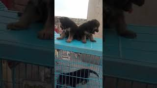Long Gsd puppies in trichy 8667449845