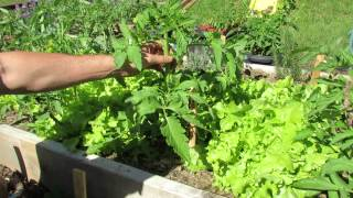 When and How to Prune Tomato Plant Suckers & Leaves: Disease Control - MFG 2014