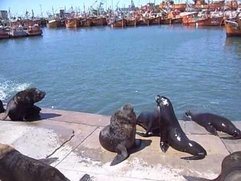 Lobos marinos en el Mar del Plata, Argentina.