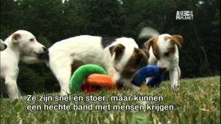 About the Jack Russell