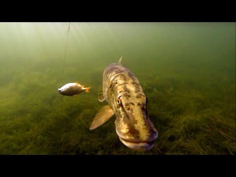 поведение щуки под водой видео