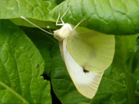 Naughty White Butterfly eating my radish plants