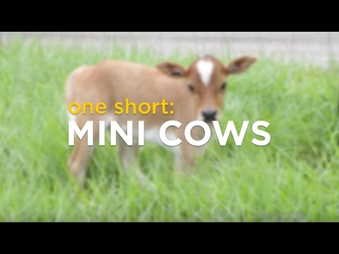 ONE Short: Mini Cows
