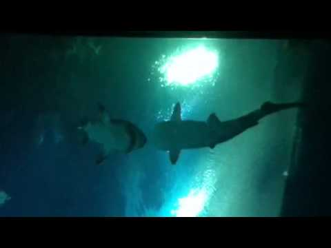 Sand Tiger Sharks at the Mandalay Bay Shark Reef