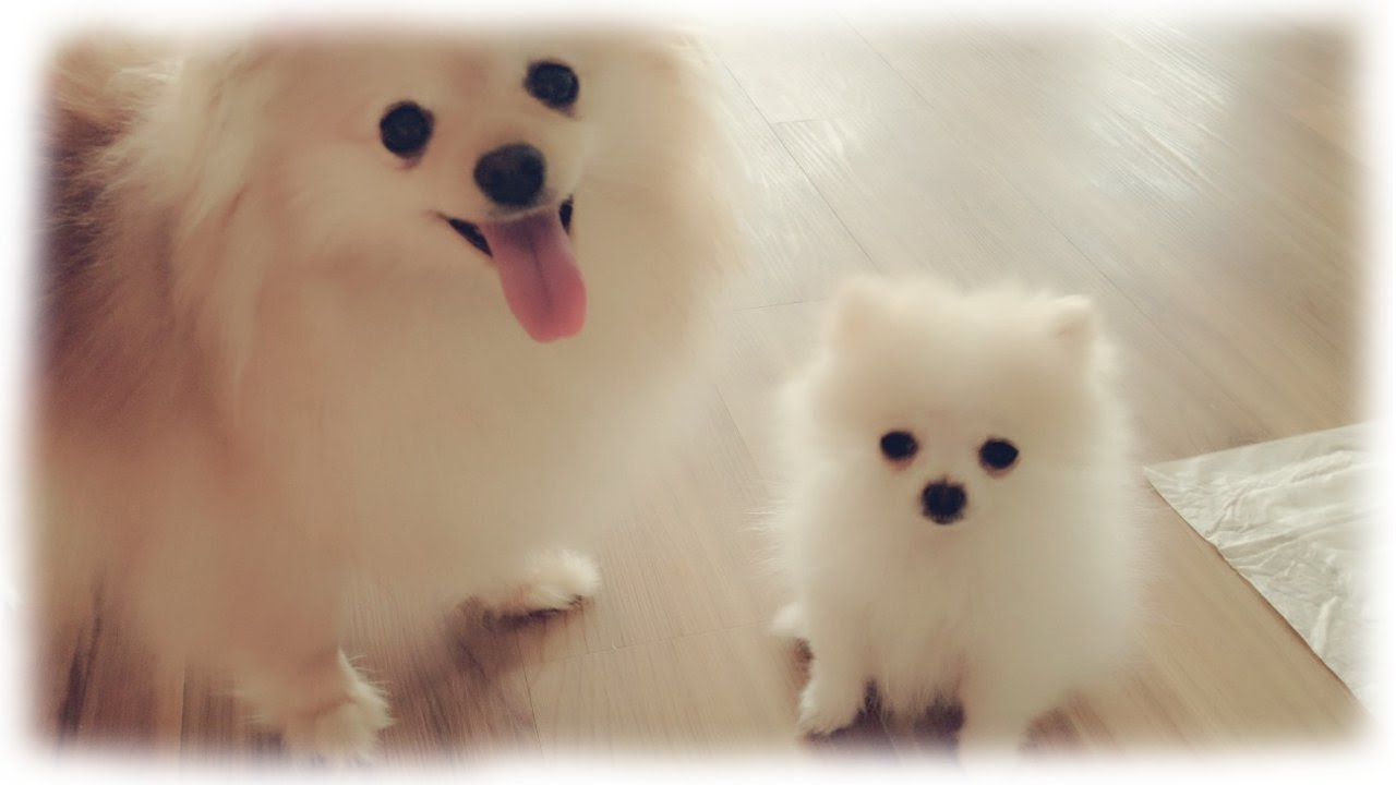 Our tiny white micro / teacup pomeranian puppy - YouTube