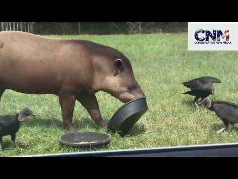 Tapir Eats Some Food from a Bowl Surrounded by Vultures! - Plus the Tapir Tips the Bowl.