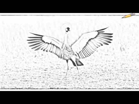 Auto Draw 2: African Crowned Crane, Masai Mara, Kenya Video