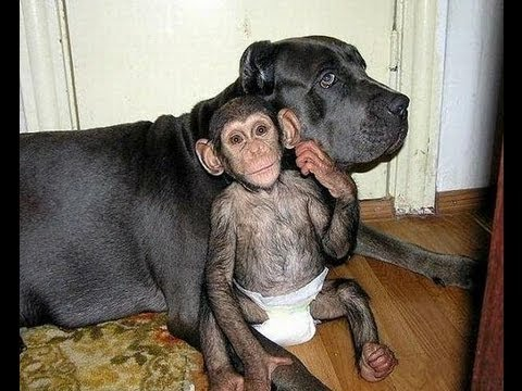 Baby Chimpanzee living happily with a giant Bull Mastiff ...