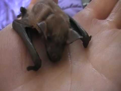 Lacey the Little Brown Bat Video