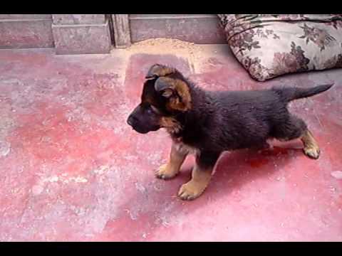 Cachorro de pastor aleman.Yeiko.