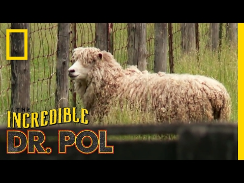 It Had to be Ewe | The Incredible Dr. Pol