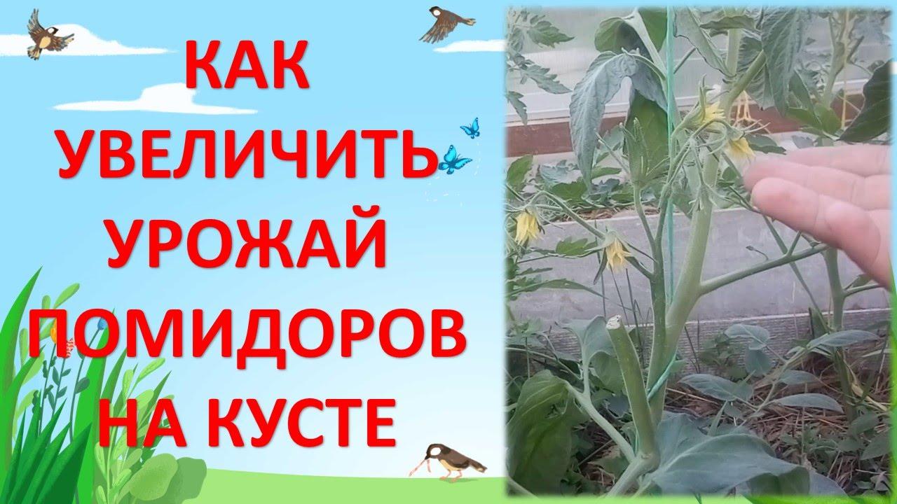 КАК УВЕЛИЧИТЬ УРОЖАЙНОСТЬ ПОМИДОРОВ / Опыление томатов / Увеличение завязей помидоров - Скачать бесплатно