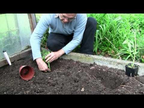 Tomatem In Den Garten Pflanzen.mpg