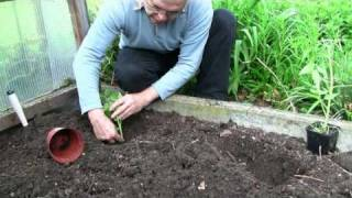 Tomaten In Den Garten Pflanzen