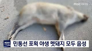 양구·인제·고성 민통선 포획 멧돼지 모두 음성