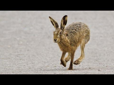 Охота на зайца. Стрельба по зайцу. Самые яркие моменты. Сезон 2014-2015. Ходовая охота. ТОЗ - 34