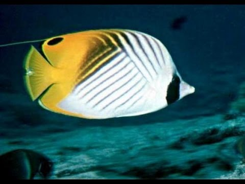 Butterfly fish of the Red Sea