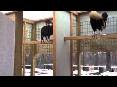 Gamefowl gallos de pelea