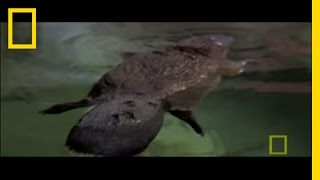 Platypus Parts   National Geographic
