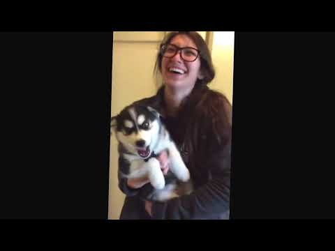 Talking husky puppy