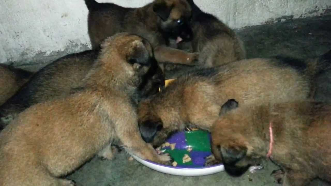 35 Days Old Bm Puppies Eating Mix Of Raw Diced Chicken And