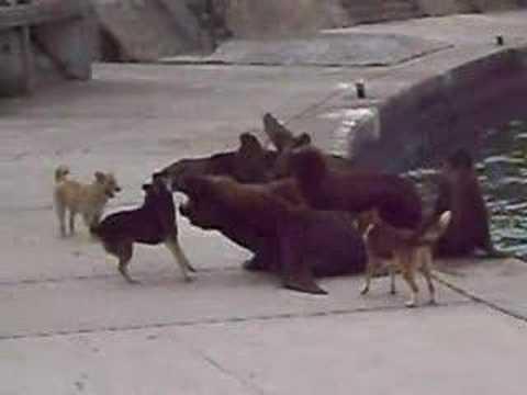 perros vs lobos marinos