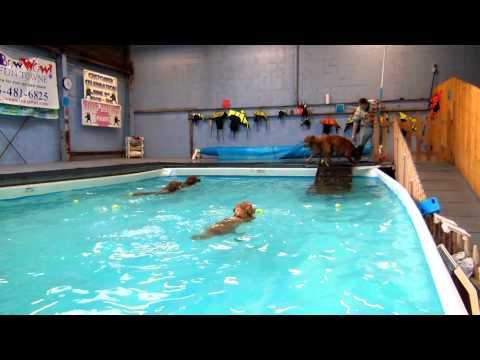 Golden Retrievers swimming 11/16/12 BowWow Fun Towne