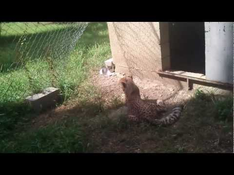 Cheetah cub and Cat