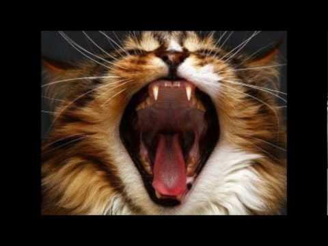 Gato angorá - o melhor !