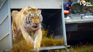 Orphaned Tiger is First Of Her Kind To Give Birth In The Wild | The Dodo
