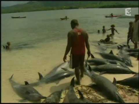 Dolphin Hunt in Solomon Islands