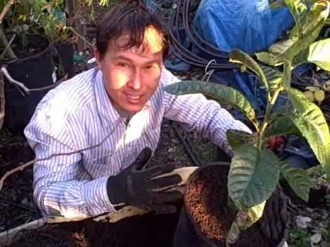 How to Replant a Fruit Tree into a Larger Nursery Pot