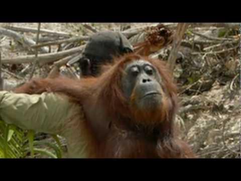 THE REDD APE Orangutan, A Climate Chance