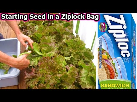 Starting Lettuce Seed in a Ziplock Bag - Fall Garden container planting seeds