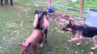 Barnyard antics! German Shepherd, Blackbelly Sheep, and pigs