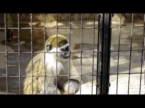 サバンナモンキーの親子(東山動物園)